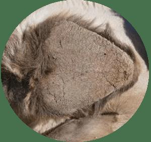 Plaque sternale dromadaire