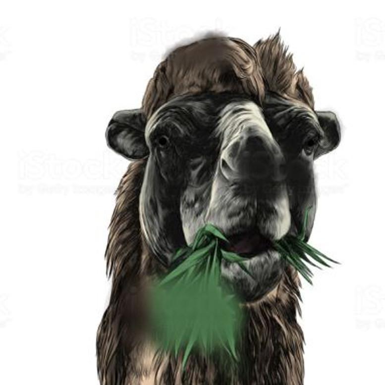 chameaux 21