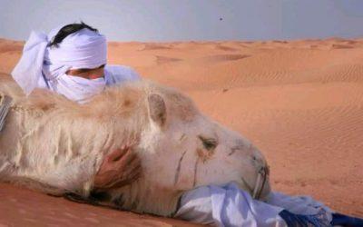 Le projet d'élever un troupeau de dromadaires en Tunisie par Tarek Benaoun président DromaCity Sahara Tunisie à Zaafrane